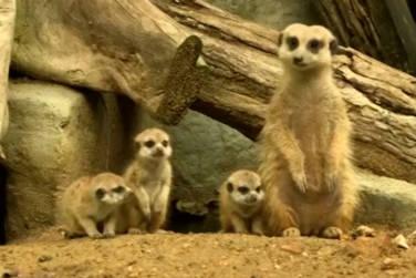 Baby Meerkats Melt Hearts At Zoo!