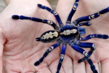 Brave Owner Lets Blue Tarantula Walk All Over Bare Skin!