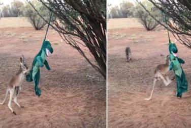 Kangaroo Fights T-Rex In Amusing!