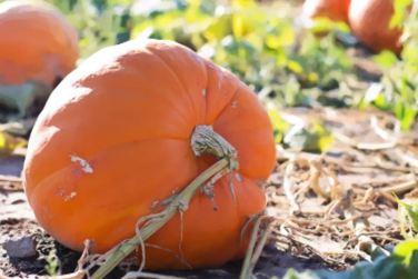 Nutritional Benefits Of Pumpkins!