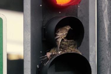 A Bird Built A Nest Inside A Traffic Lights!