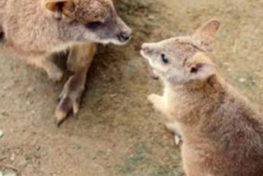 Baby Wallaby Leaves Mother`s Pouch After 7 Months!