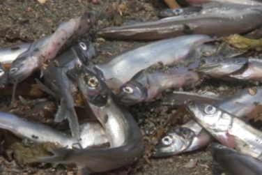 Thousands Of Dead Fish Wash Up On Mexican Beach!
