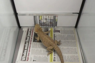 Bearded Dragons Are Smarter Than You Think!